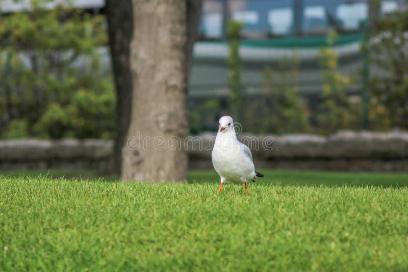 Mouette à tête noire se tenant sur l'herbe en parc images libres de droits