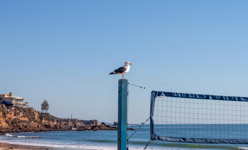 Mouette étée perché sur un courrier de cour de volleyball photo stock