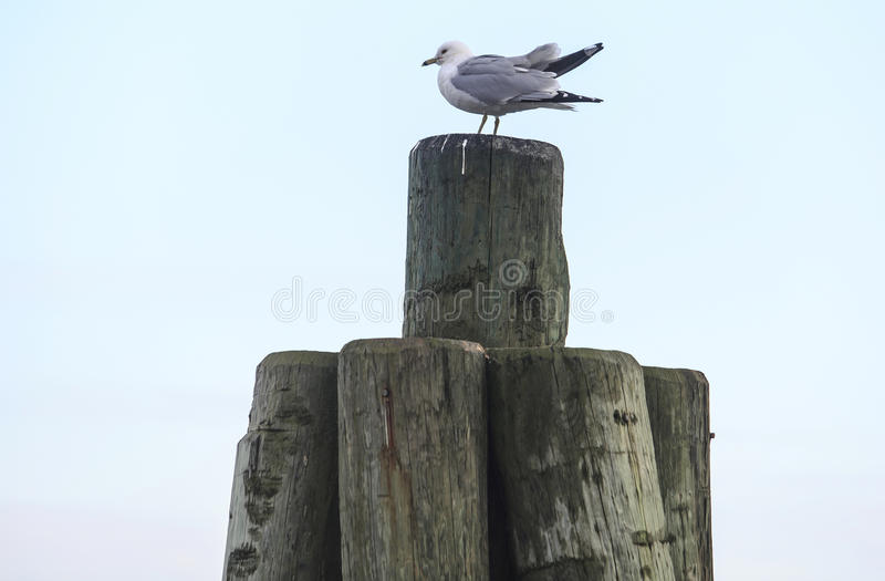 Mouette photographie stock