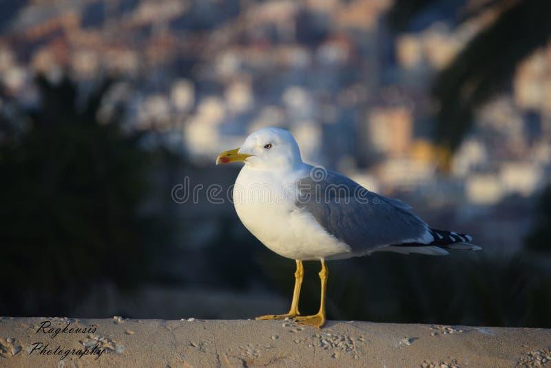 Download Mouette photo stock. Image du avec, seabirds, animaux - 87700758
