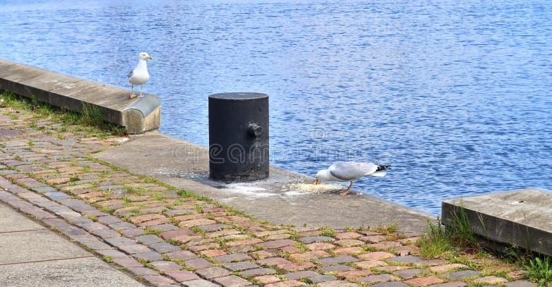 Mouette affamée à un mur de quai du port en Kiel Germany images libres de droits