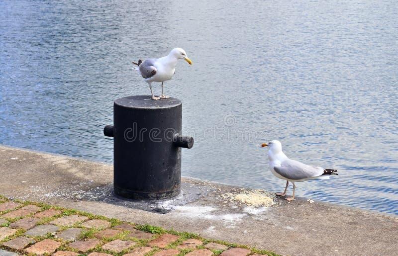 Mouette affamée à un mur de quai du port en Kiel Germany photographie stock libre de droits