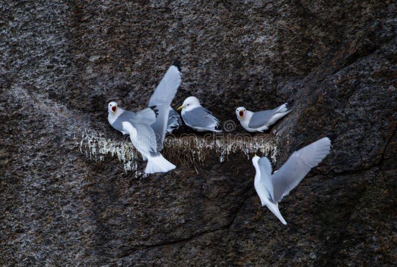 Mouette alimentant dans le nid