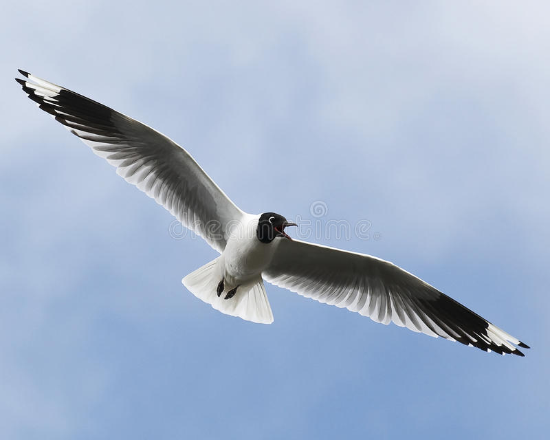 Mouette andine photographie stock