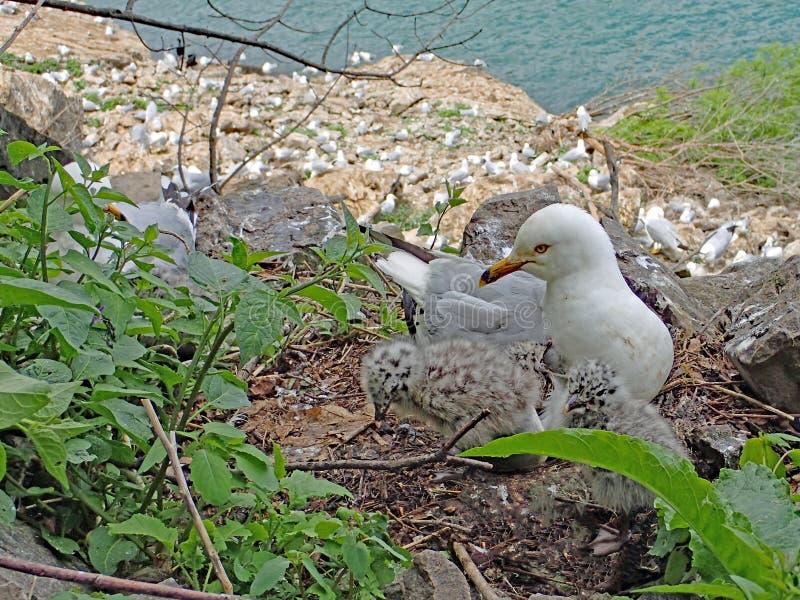 Mouette anneau-affichée de gris et blanche et son nid des bébés avec la grande colonie à l'arrière-plan photos stock