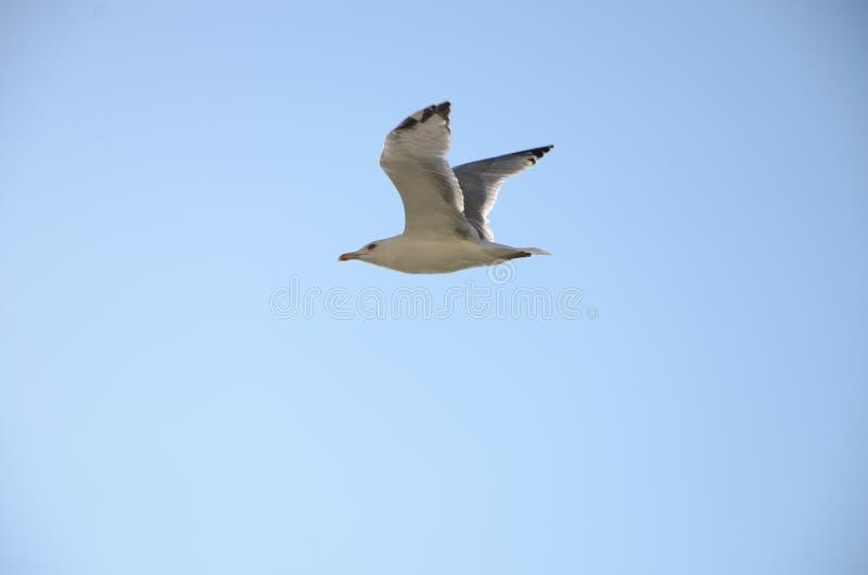 Mouette argentée sur le fond de ciel bleu Le dos est gris pâle, et le cou, le corps et le blanc principal Les ailes ont une coule photos libres de droits