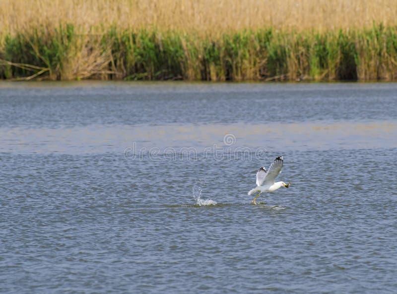 Mouette attrapant un poisson en vol photo libre de droits