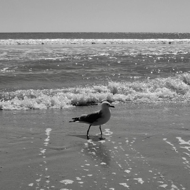 Mouette au bord de la mer marchant dans le ressac images stock