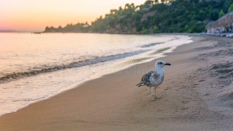 Mouette au coucher du soleil image libre de droits