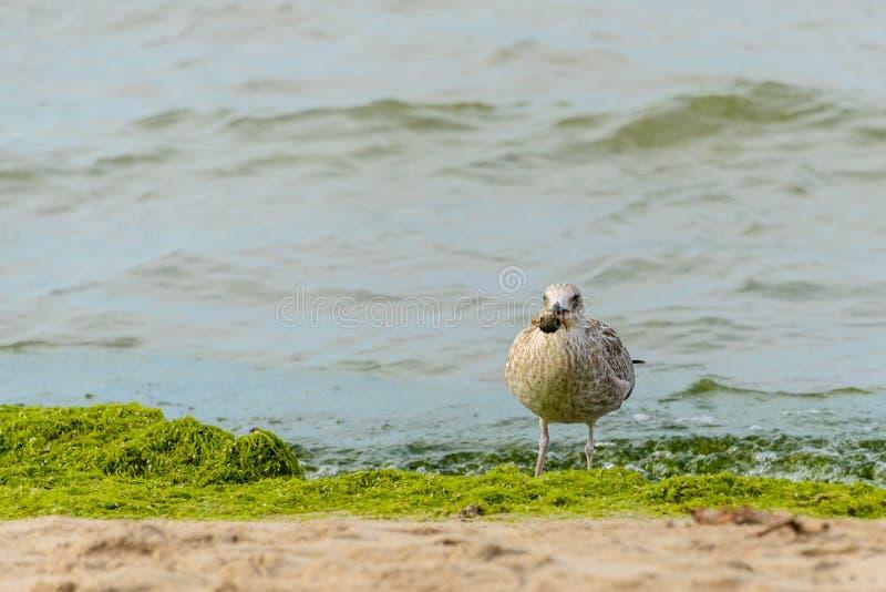 Mouette avec la proie dans son bec La grosse mouette sur la plage se tient dans son bec a attrapé le crabe photo libre de droits