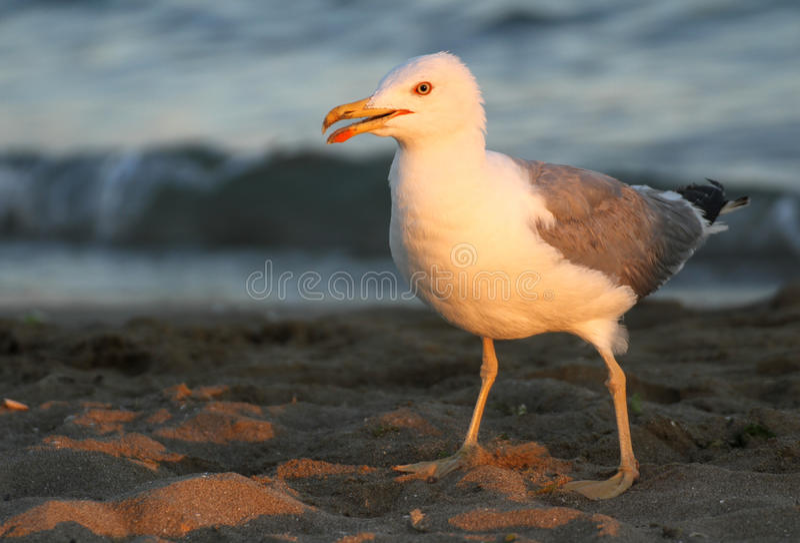 Mouette blanche élégante sur le rivage de la plage images stock