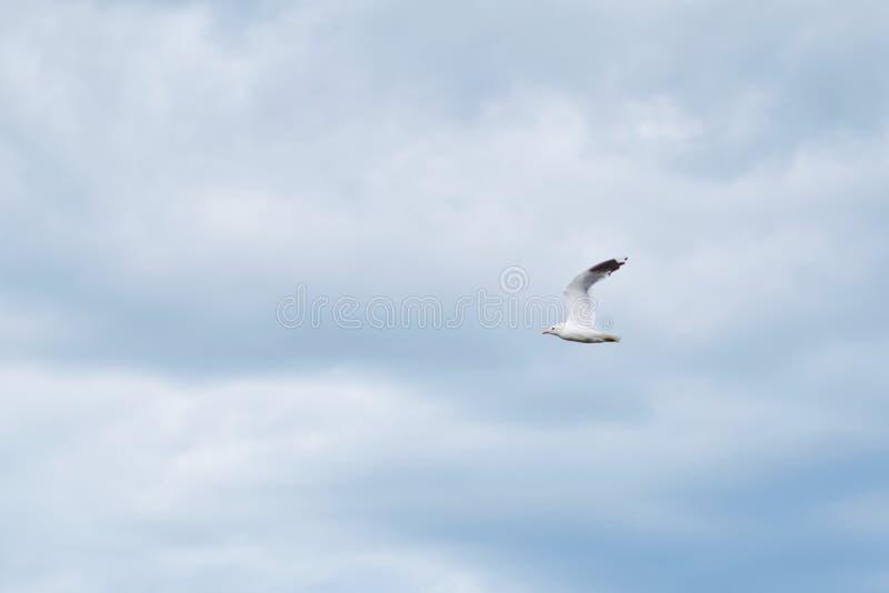 Mouette blanche contre le ciel nuageux photo libre de droits