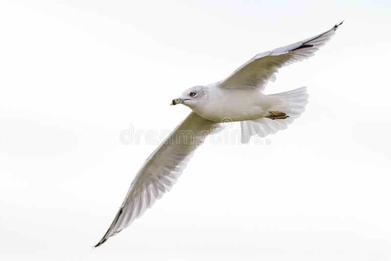 Mouette blanche en vol photo libre de droits