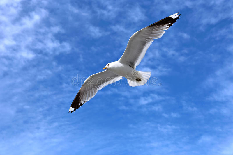 Mouette blanche méditerranéenne photographie stock