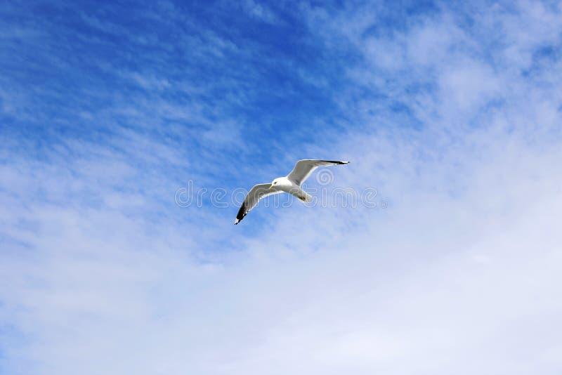 Mouette blanche méditerranéenne image libre de droits