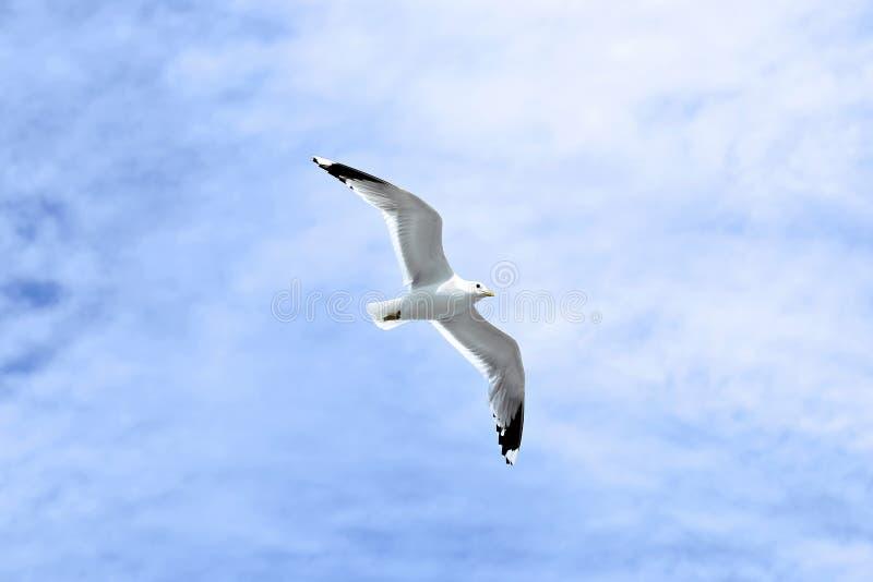 Mouette blanche méditerranéenne photo libre de droits