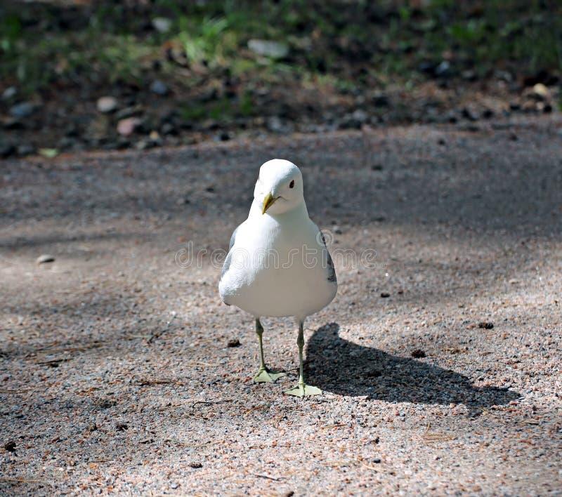 Mouette blanche méditerranéenne photo stock