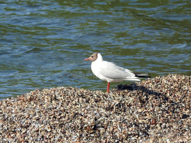 Mouette blanche sur des coquilles sur le rivage de broche de Curonian, Lithuanie image stock