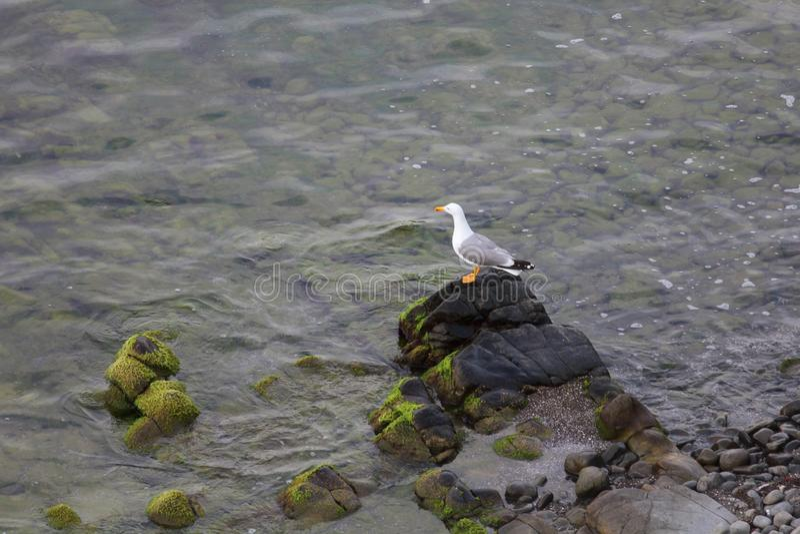 Mouette, côte de la Mer Noire photo libre de droits