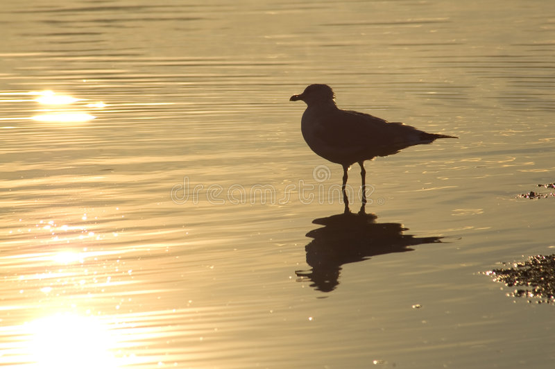 Download Mouette d'or photo stock. Image du tôt, matin, fleuve, silhouette - 70384