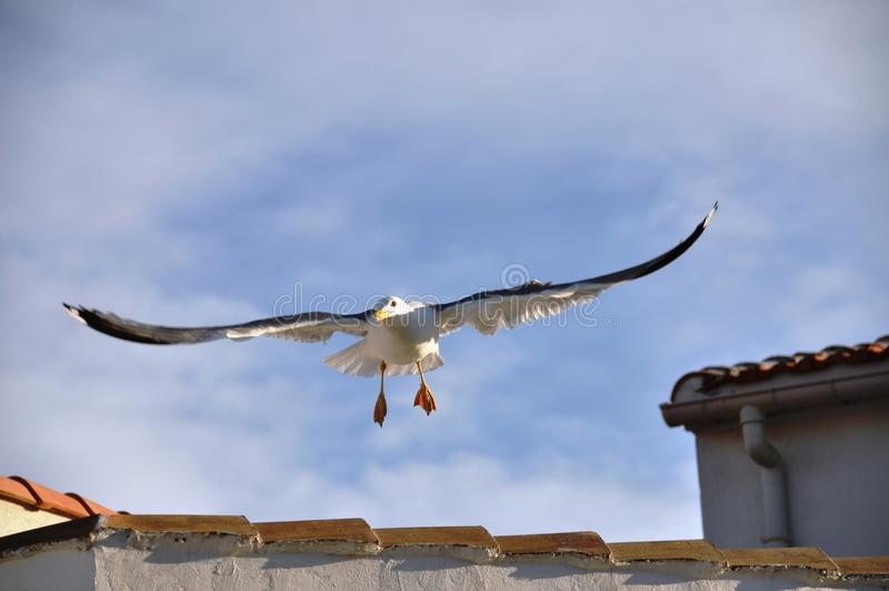 Mouette d'atterrissage photos libres de droits