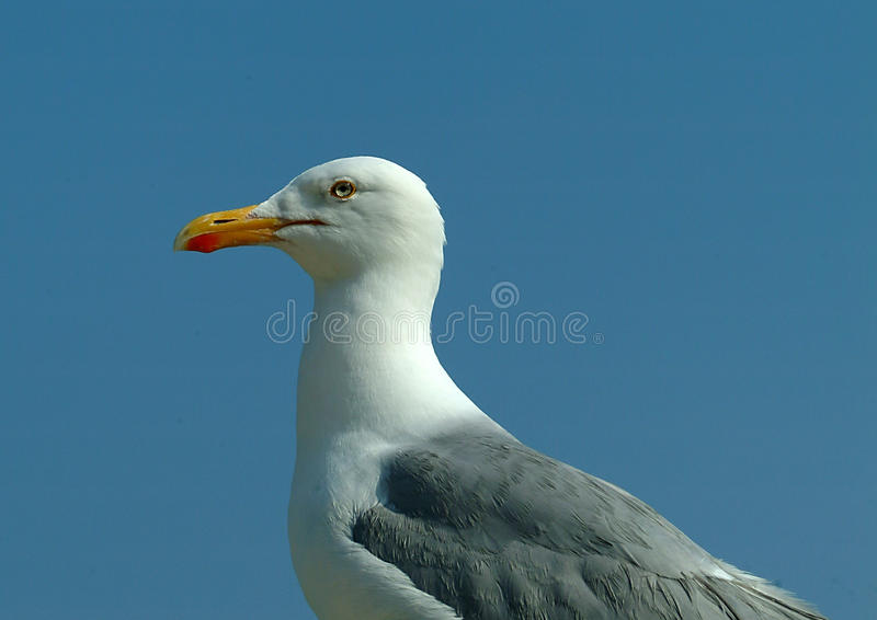 Mouette d'harengs 1 image stock