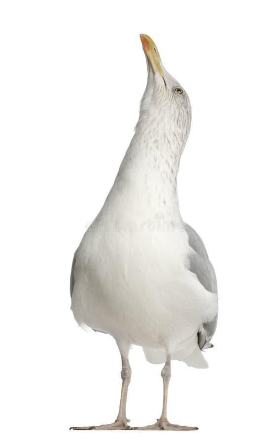 Mouette d'harengs européenne, argentatus de Larus image libre de droits