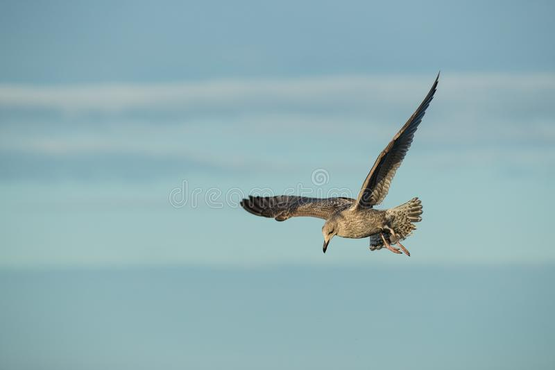 Mouette d'harengs juvénile en vol photo libre de droits