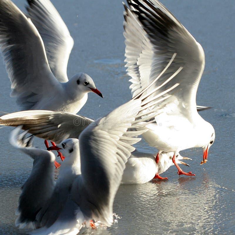 Mouette d'oiseau photo libre de droits