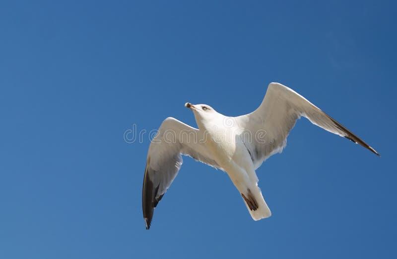 Mouette dans le ciel photo libre de droits