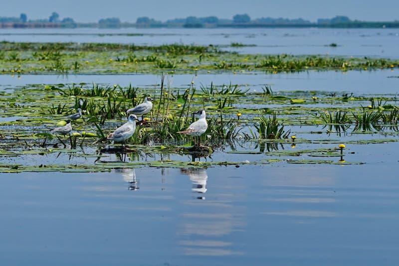 Mouette dans le lac images libres de droits