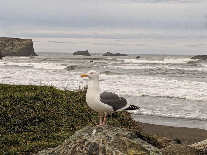Mouette de côte de l'Orégon photo libre de droits