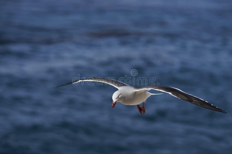Mouette de dauphin en vol image libre de droits