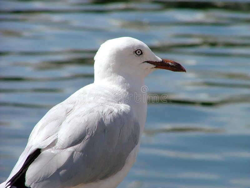 Download Mouette de mer photo stock. Image du plage, oiseau, harengs - 89604