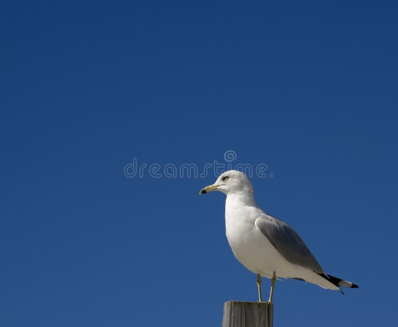 Mouette de mer sur le poteau photos stock