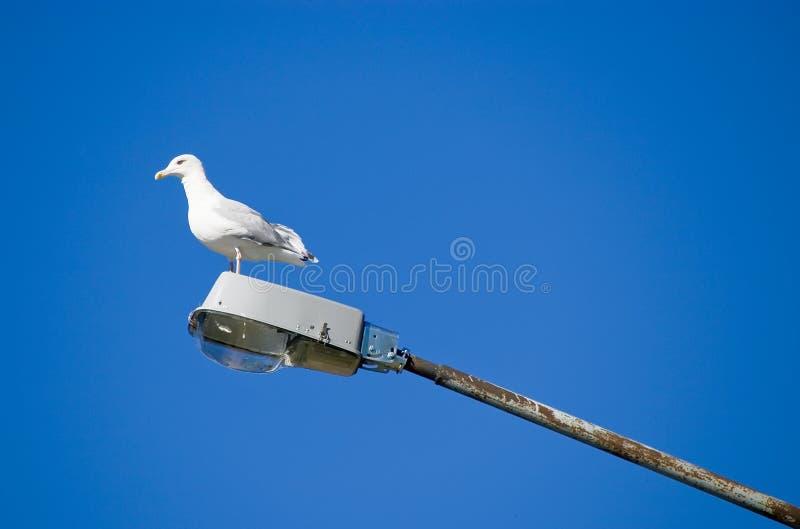 Mouette de mer sur un réverbère photo libre de droits