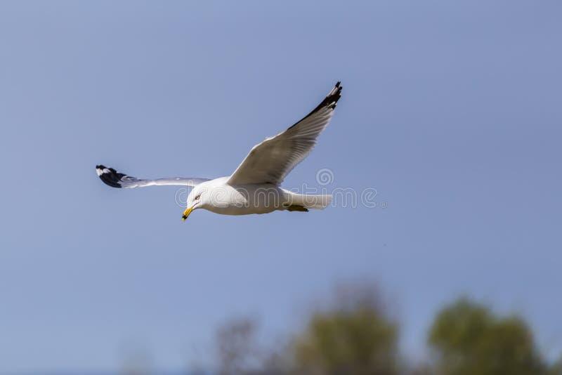 Mouette de vol photo libre de droits