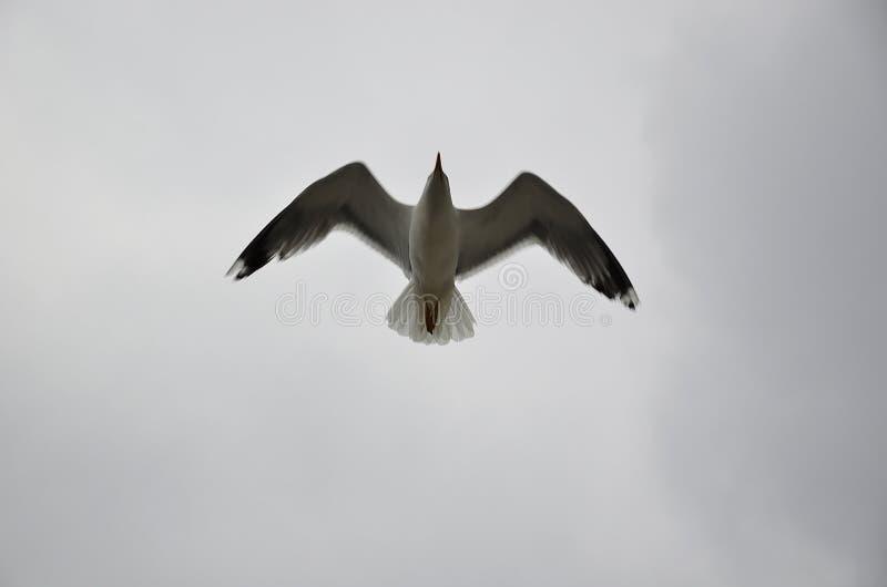 Mouette de vol dans le ciel photos stock