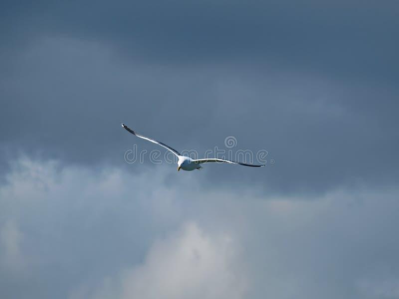 Mouette de vol en ciel nuageux images libres de droits