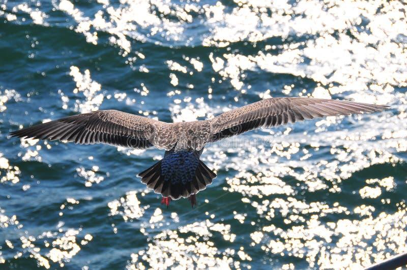 Mouette en vol au-dessus de l'océan pacifique avec des réflexions de Sun photographie stock libre de droits