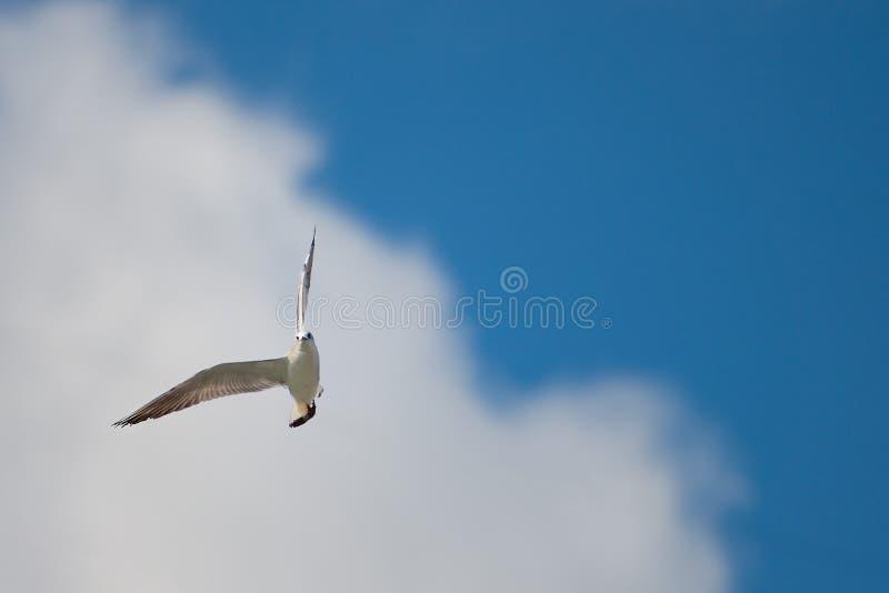 Mouette en vol dans le ciel bleu et le nuage blanc photographie stock libre de droits