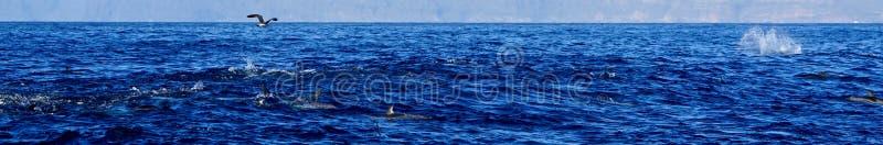 Mouette et dauphins chassant des poissons photographie stock libre de droits