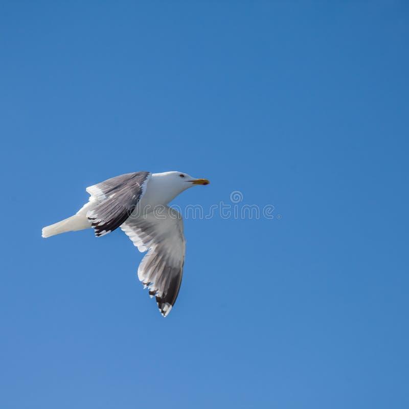 mouette Glaucous-à ailes image libre de droits