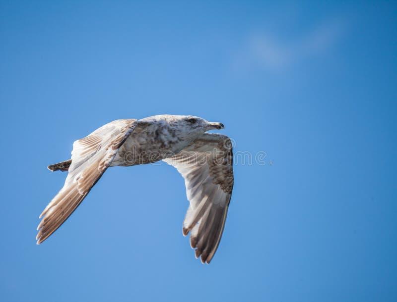 mouette Glaucous-à ailes photographie stock libre de droits