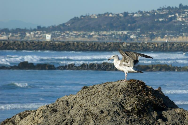 mouette Glaucous-à ailes. Plage d'océan, CA. images stock