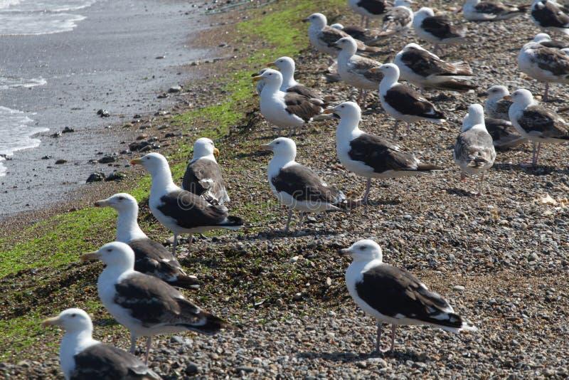 Mouette Iat la côte photos libres de droits