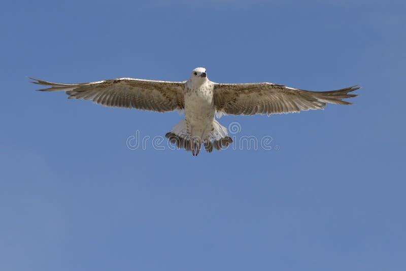 Mouette jaune-à jambes juvénile en vol images stock