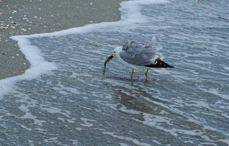 Mouette mangeant un casse-croûte de poissons photographie stock libre de droits