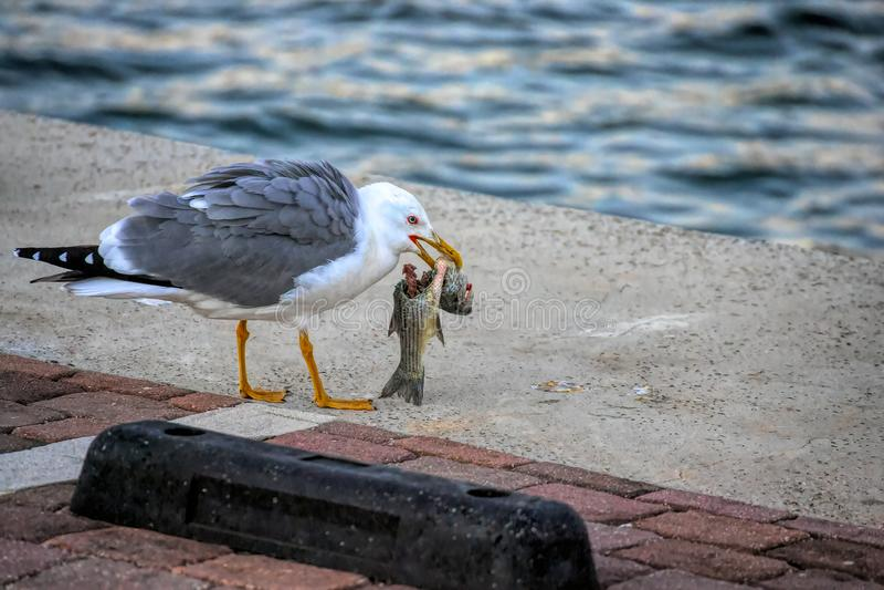 Mouette mangeant un poisson photographie stock libre de droits