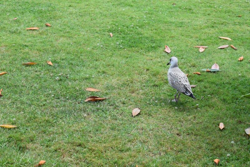 Mouette marchant en parc avec le fond vert image libre de droits